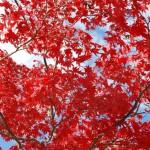 紅葉の赤と空の青がきれい