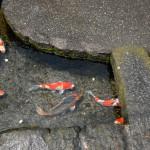 湧水を引き込んだ水路に鯉が群れ泳ぐ