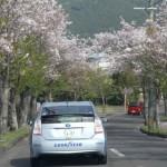 盛りを過ぎた桜並木