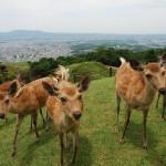 若草山の鹿たち