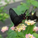 石垣島を再現した蝶の楽園