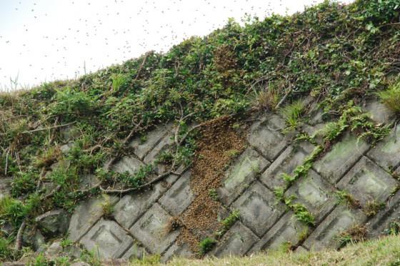 石垣に自然分蜂をはじめた