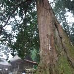 吉川八幡宮の檜御神木
