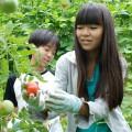 完熟トマトを収穫中