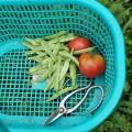 トマトとインゲンの収穫