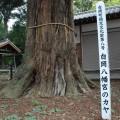 樹齢600年のご神木「カヤ」