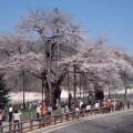 遅い春をむかえ満開の荘川桜※
