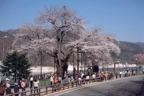 遅い春をむかえ満開の荘川桜