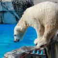 北極グマの自然繁殖に成功した子ぐまちゃん