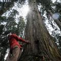 樹齢250年余の金山杉の巨木