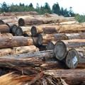 樹齢80年以上が銘木「金山杉」と呼ばれる