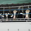 牛などの家畜を積んだトラックも多い