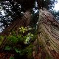 大美輪の森入口付近にある金山夫婦杉