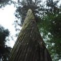 ねじれた樹皮に悠久の時を感じる