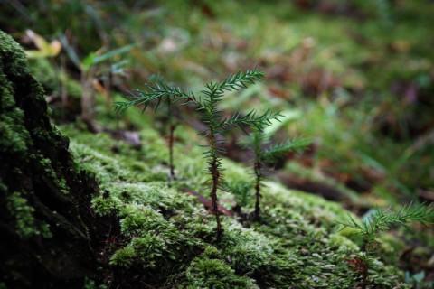 平安杉の倒木から新芽が吹いていた