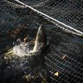 帰って来た鮭が定置網に踊る