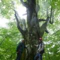 吉川さんが案内してくれた樹齢400年を超えるブナの巨木