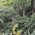 ミズナラの根本に群生するユキツバキ
