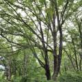 """""""森のダム""""といわれるミズナラ群落生態林"""
