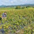広い畑で綿花栽培体験ができる