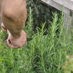 庭先のローズマリーを摘み取る