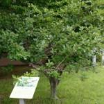 ニュートン邸のリンゴの木のクローン樹