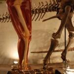 骨格標本に筋肉の付き方を並設