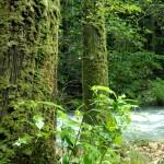 渓谷の飛沫を浴びて苔むす古杉