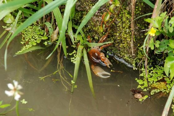 水路を覗き込むと沢山の水生昆虫、沢ガニや蛙、ホトケドジョウが蠢いていいた。