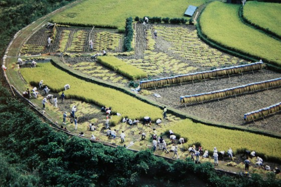 ボランティア200名が参加して行われた稲刈りの様子(撮影・写真提供:西林輝昌さん)