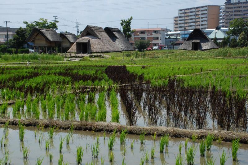 通常のうるち米に混じって褐色の赤米(古代米)を近隣の小学生が栽培している。