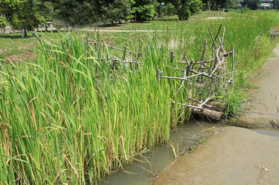 水田跡には効率よく水を取り込む水路も発掘・復元されている。