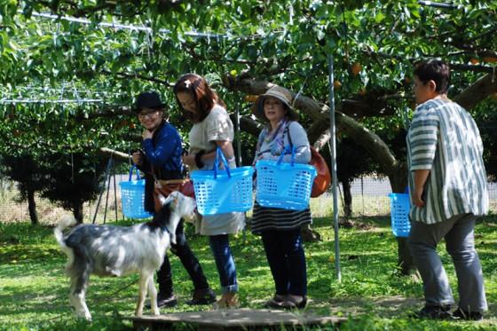 樋口果樹園のマスコットのやぎは人気者だ。