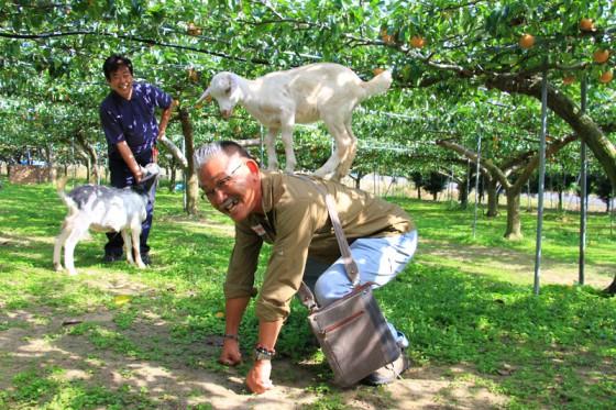 今年生まれた子やぎがACPスタッフ小川さんの背中に突然飛び乗った。