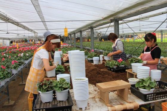 大型のハウスでシクラメンの鉢植えを栽培している。