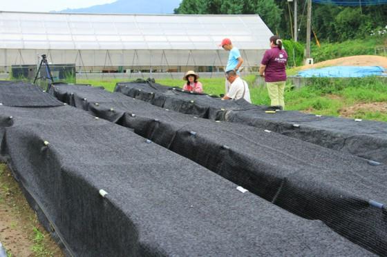 スクリーンの囲いの中でニオウシメジが栽培されていた。