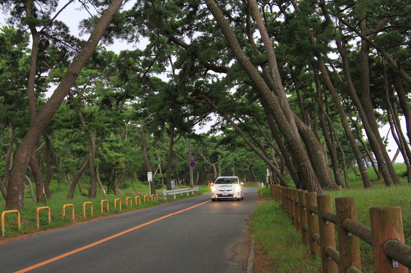 樹齢200年以上の黒松が5.5kmも続く。
