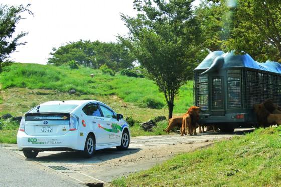 今日は暑かったので動物達も動きが鈍かったが、バスが到着しておやつの時間になるとライオン達が集まってきた。