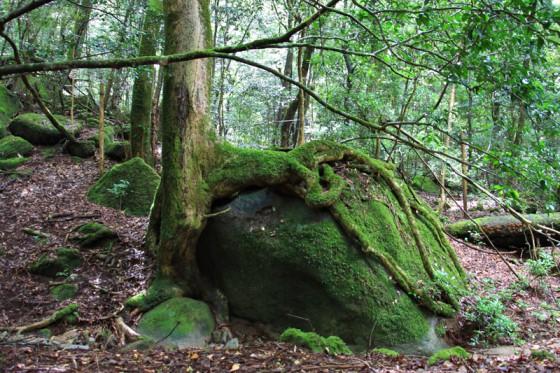 岩を抱き込むように逞しく根を張る大木。