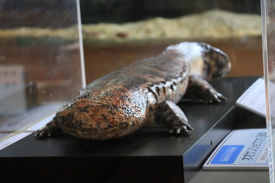 オオサンショウウオの剥製も展示されていた。